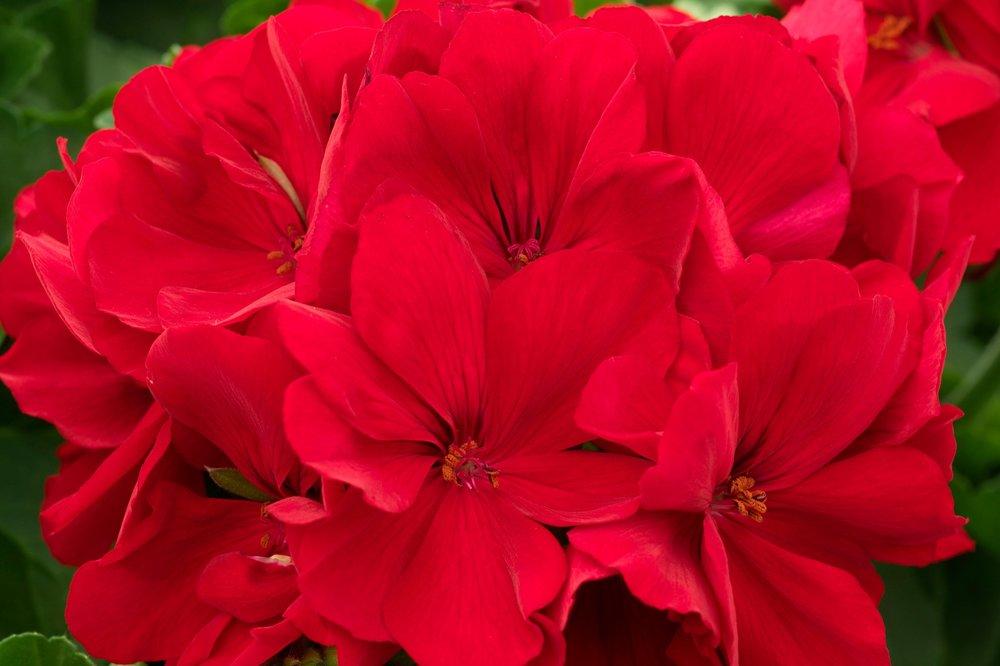 Dark Red -