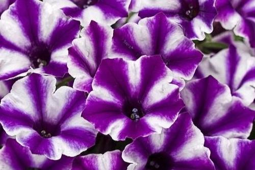 Violet Star Charm -