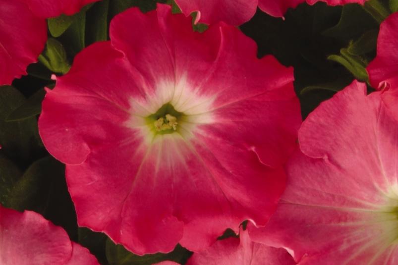 Rosy Dawn -