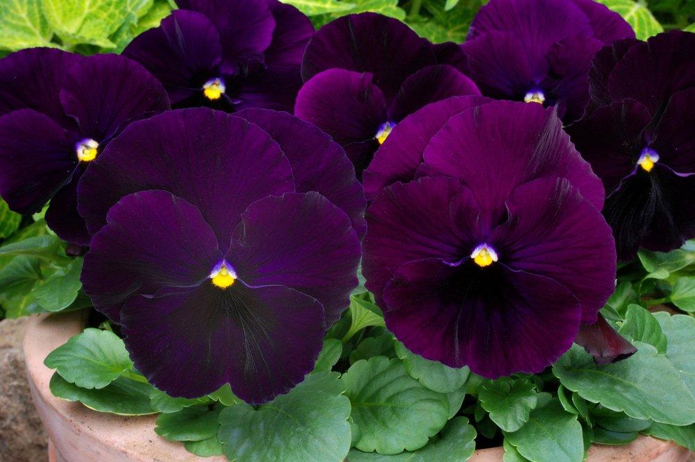 Purple -