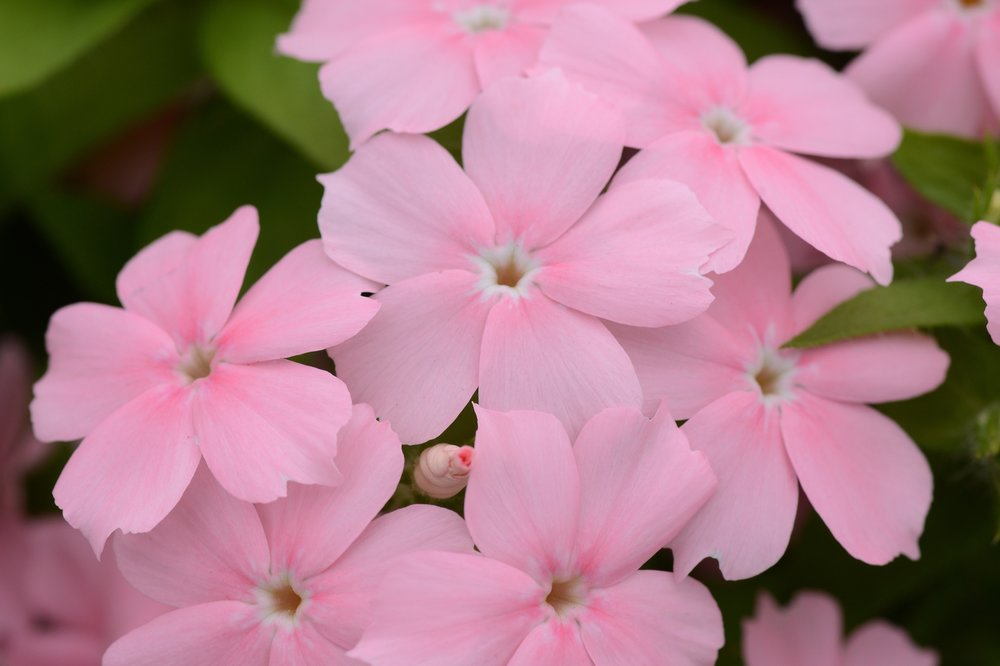 Light Pink -