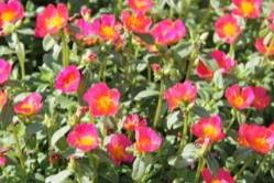 Plumberry -