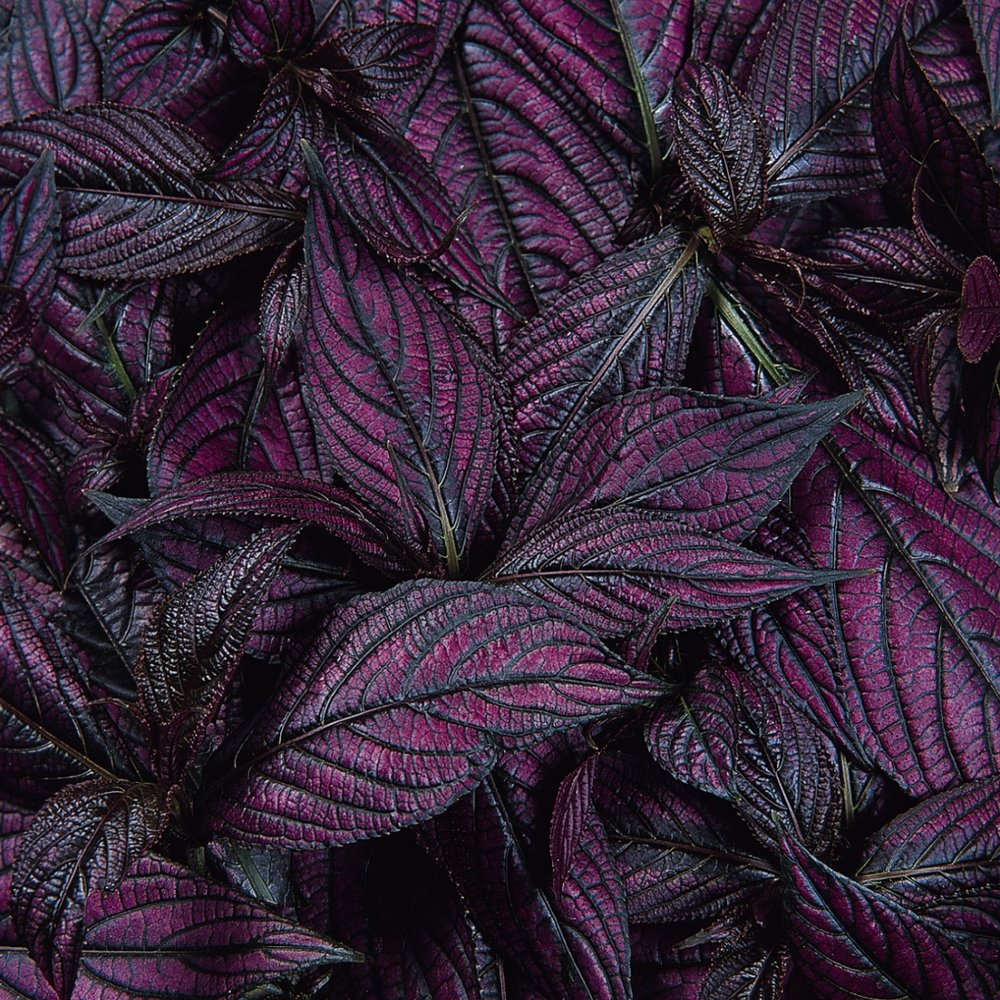 Persian Shield -