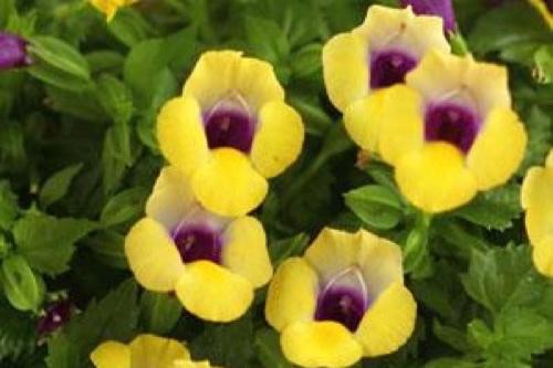 Bouquet Gold -
