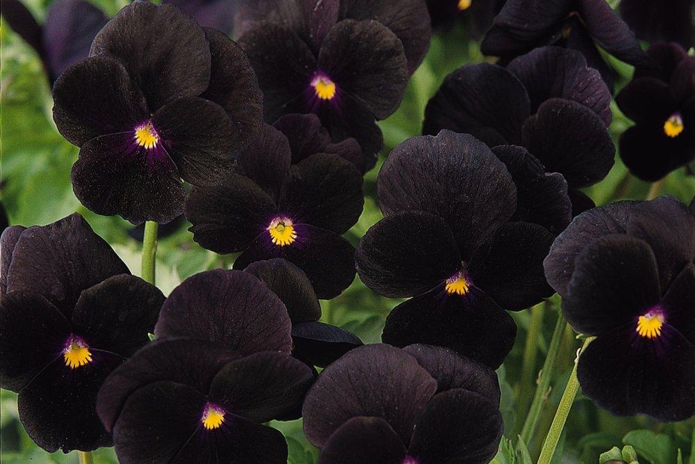 Black Delight -