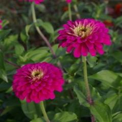 Uproar Rose -