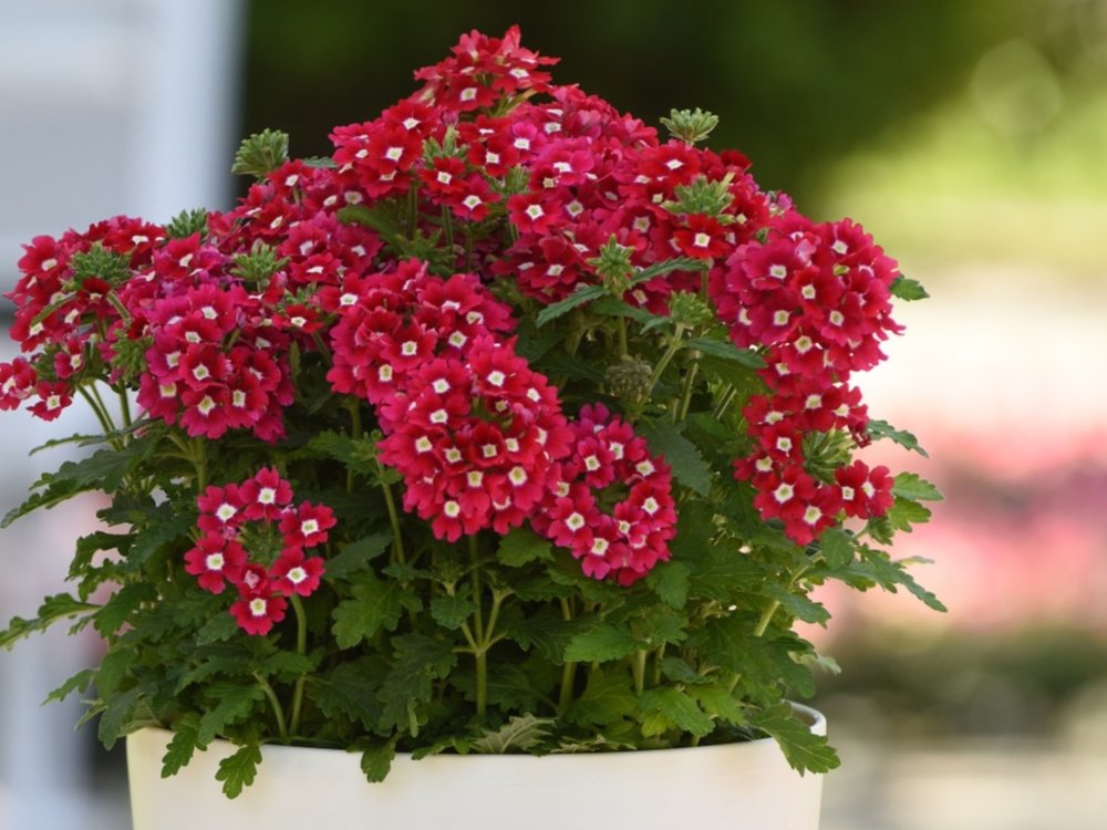 FIREHOUSE & CADET VERBENA - There isn't a better verbena on the market than these two series.With exceptional heat performance, powdery mildew resistance, and increased cycling, there's more color in the garden for the summer than ever before.With great mounding in the Firehouse and upright habit in the Cadet, these series are perfect for mixed containers and your gardening needs. They are must haves this coming season!