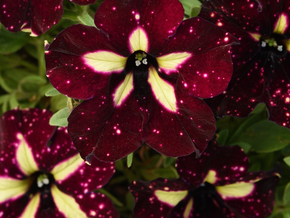 HEADLINER PETUNIAS - You might have seen the Night Sky and Pink Sky Headliners, but have you seen the Starry Sky Burgundy?? One of the most dramatic flowers on the market and with its early flowering, you have bold color longer than most petunias out there.