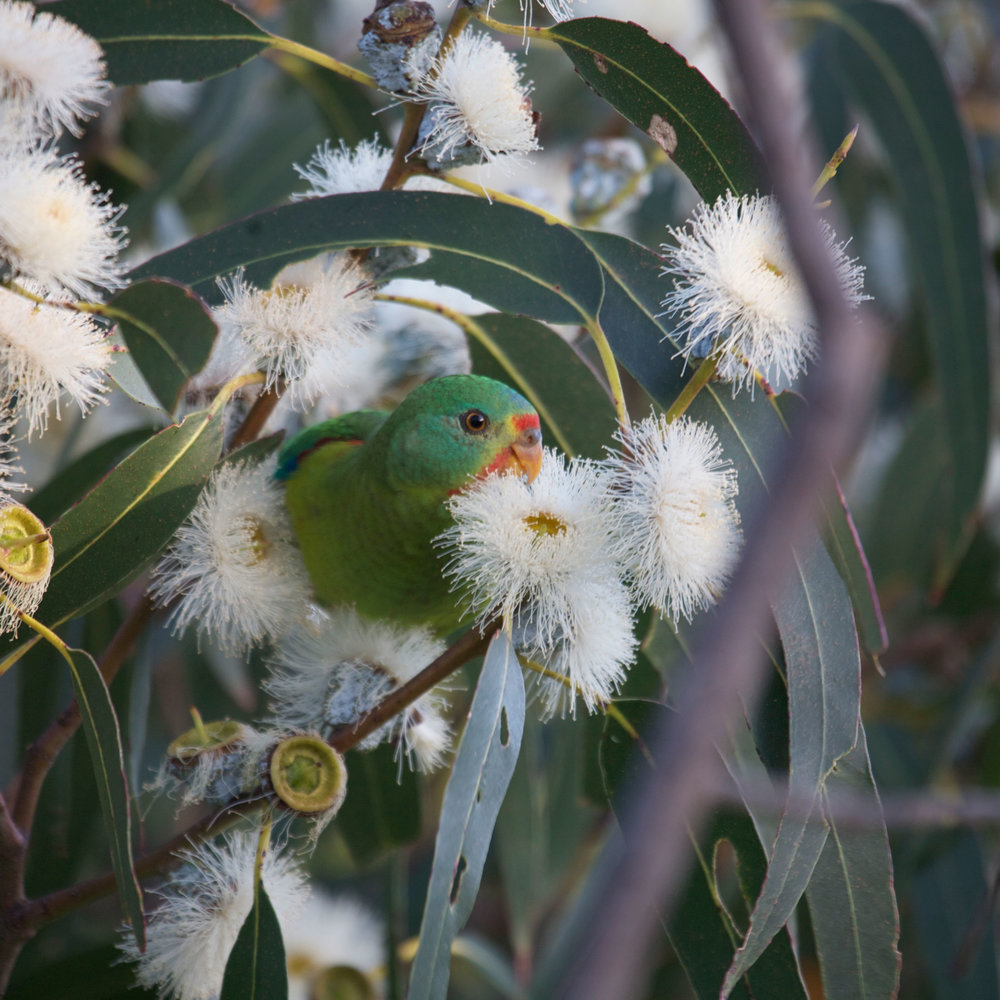 swift-parrot-in-blossom.jpg