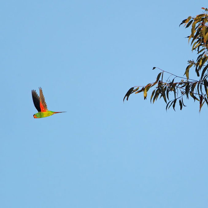 Swift-parrot-flies-away.jpg