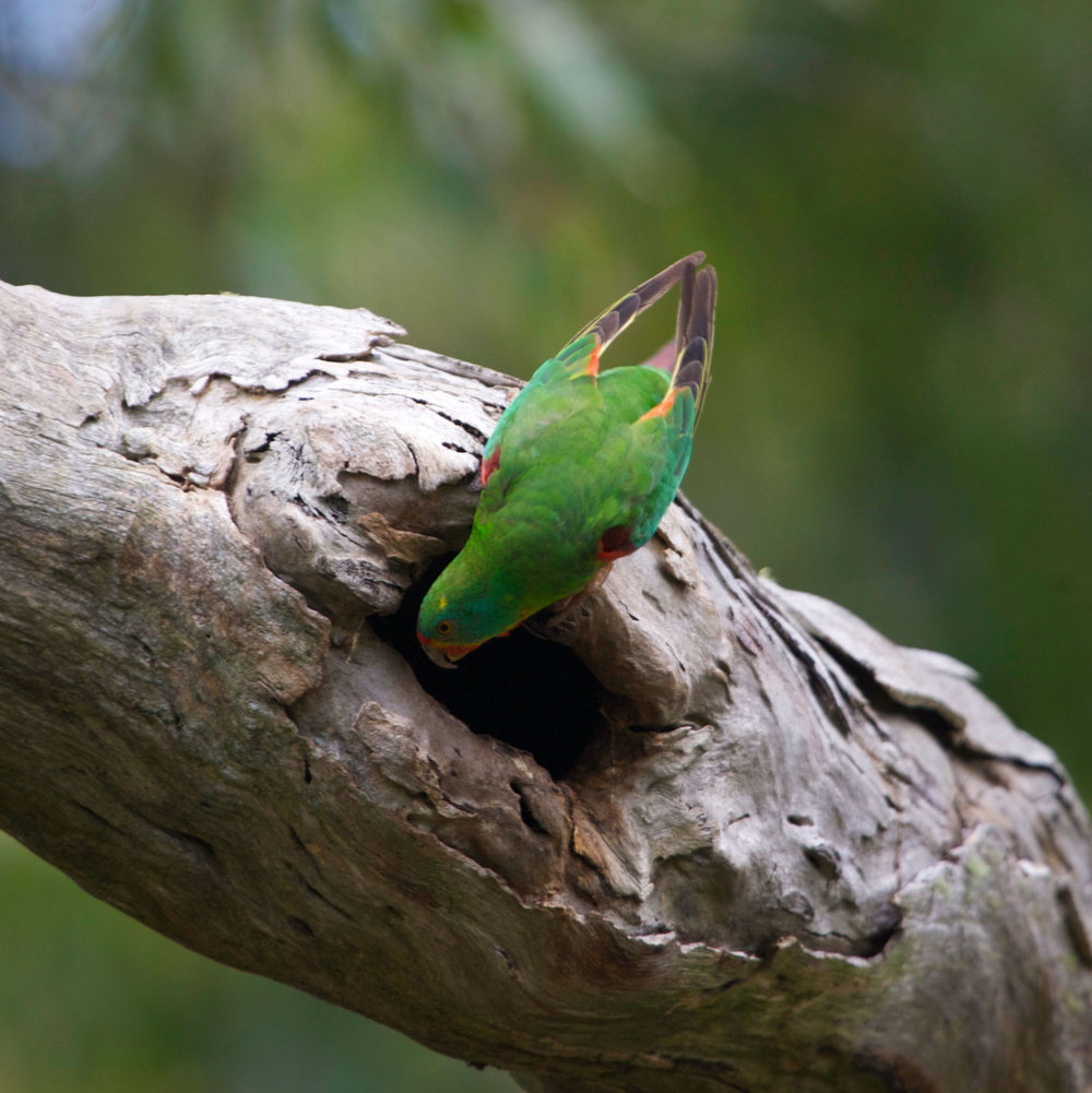 adult-male-swift-parrot-peers-into-spout1.jpg
