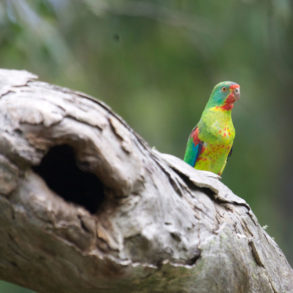 adult-male-swift-parrot-at-spout-2.jpg