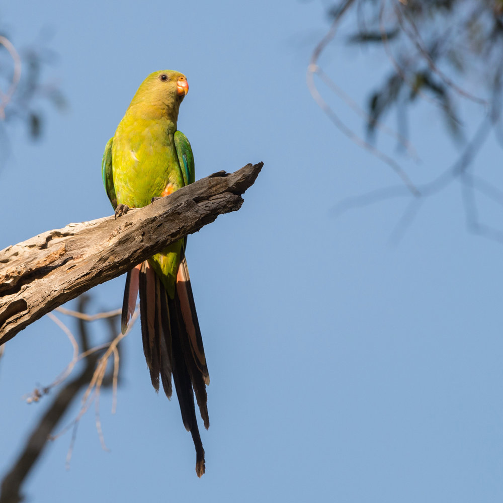 Superb-Parrot-0796.jpg