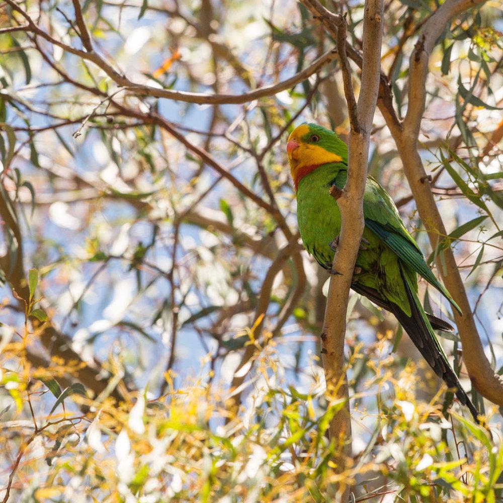Superb-Parrot-6224.jpg