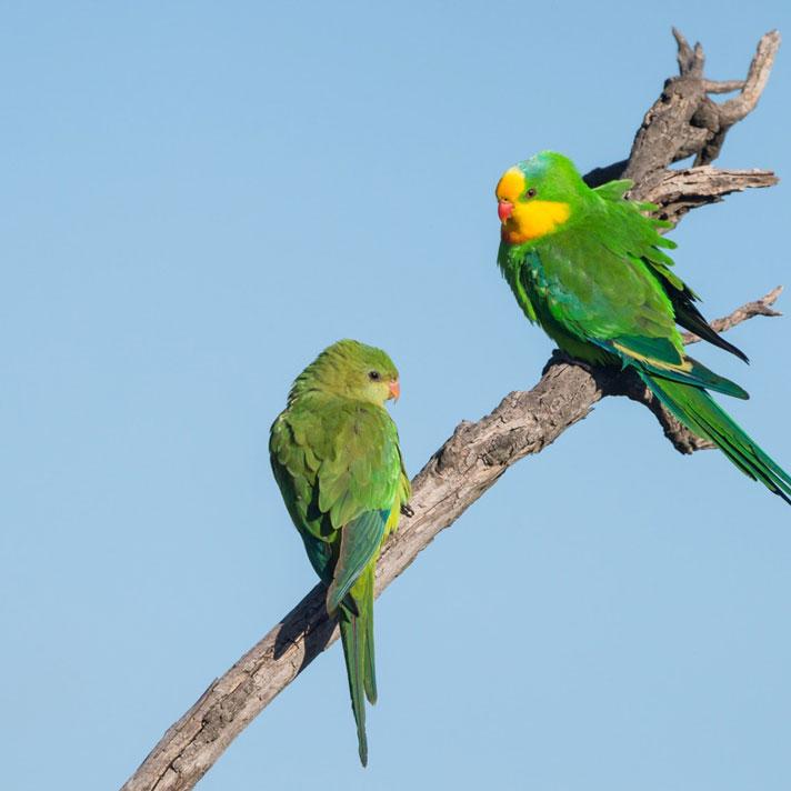 Superb-Parrot_D-Stowe-8655.jpg