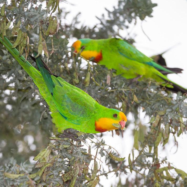 Superb-Parrot_D-Stowe-3512.jpg