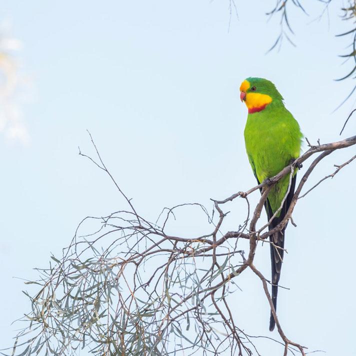 Superb-Parrot_D-Stowe-8733.jpg