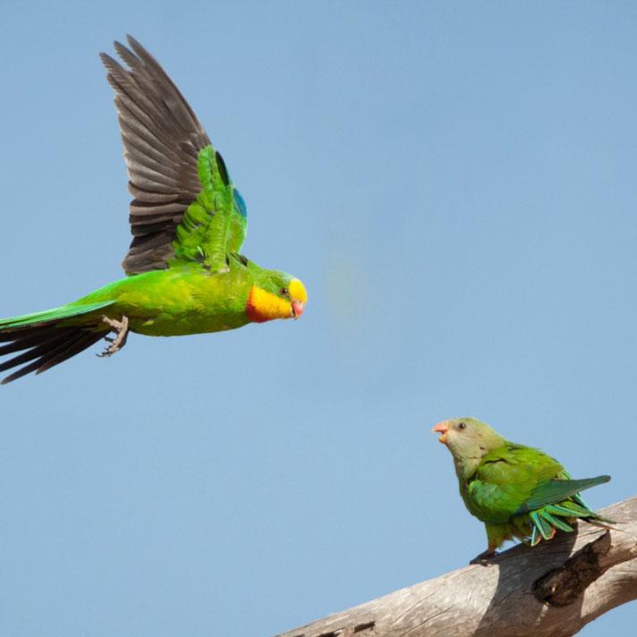 Superb-Parrot_D-Stowe-2889.jpg