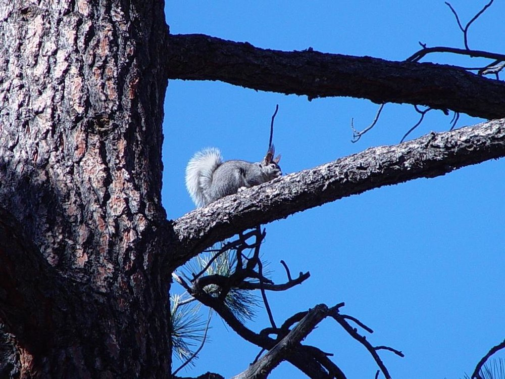 Abert's squirrel 3 AGFD - Copy - Copy.jpg