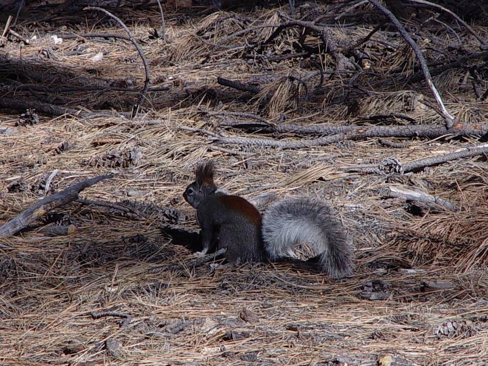 Abert's squirrel ground AGFD - Copy - Copy.jpg
