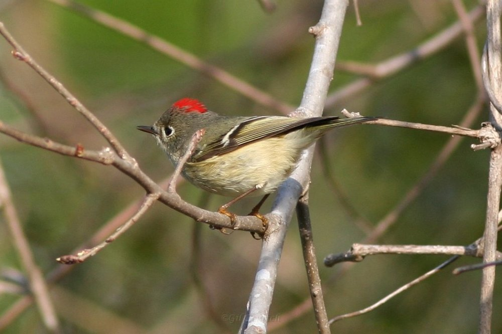 Ruby-crownedKinglet - Copy.jpg