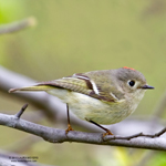 ruby-crowned-kinglet-150pix - Copy.jpg