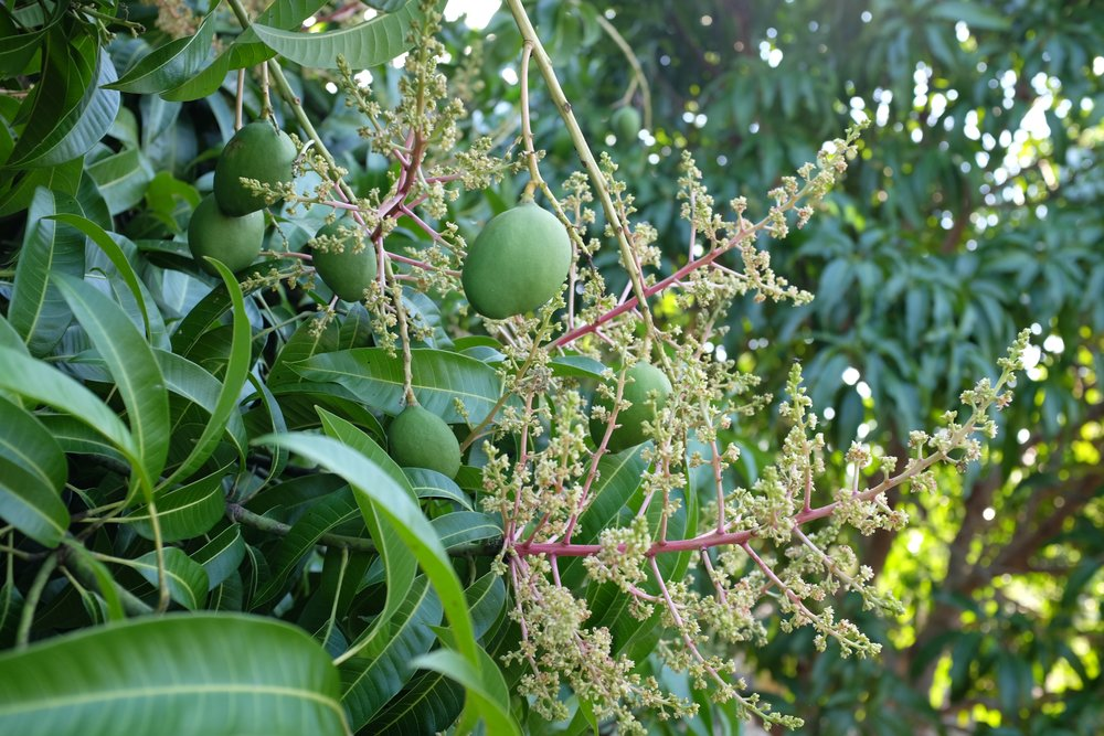 A 'Carrie' mango tree that is fruiting and flowering simultaneously.