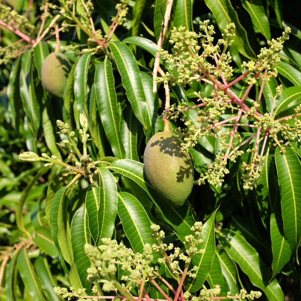A 'Cogshall' mango tree flowering and fruiting