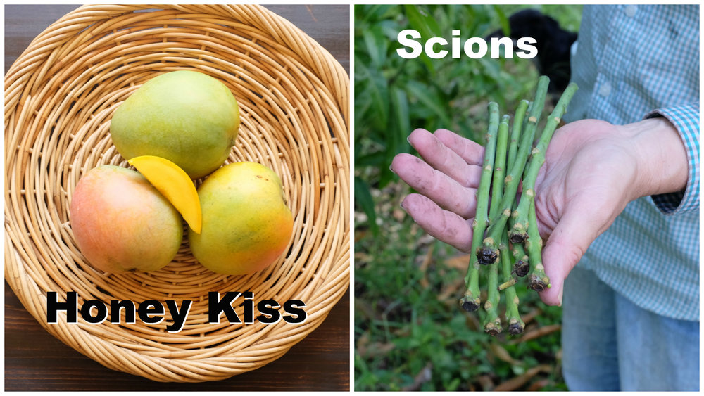 honey kiss scions.jpg