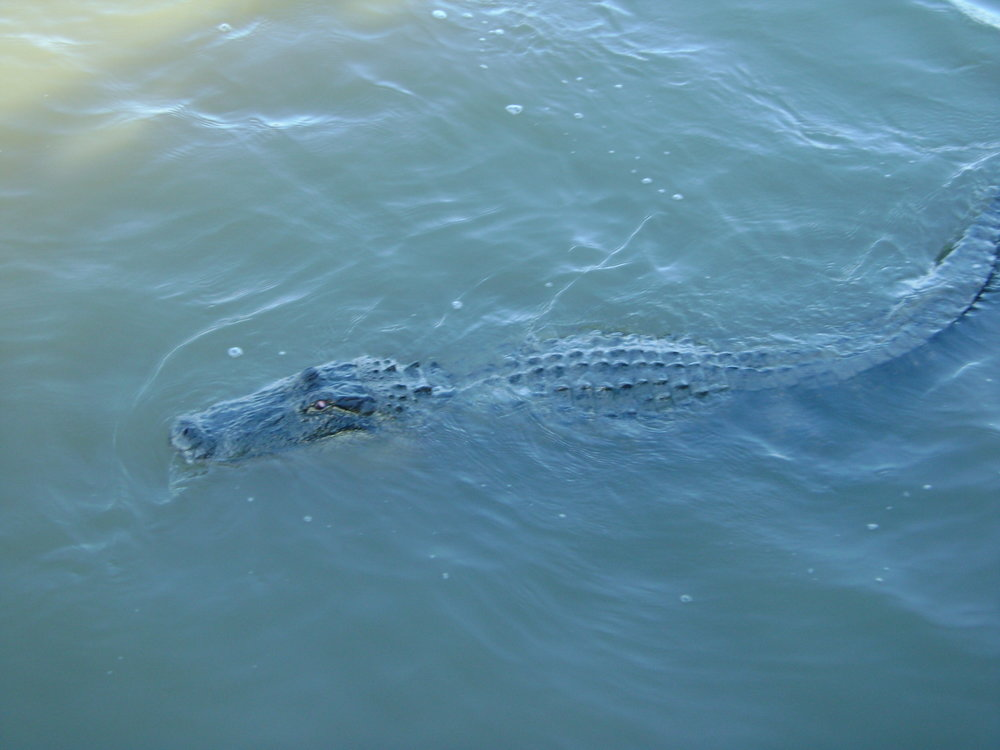 Alligator in Freshwater City