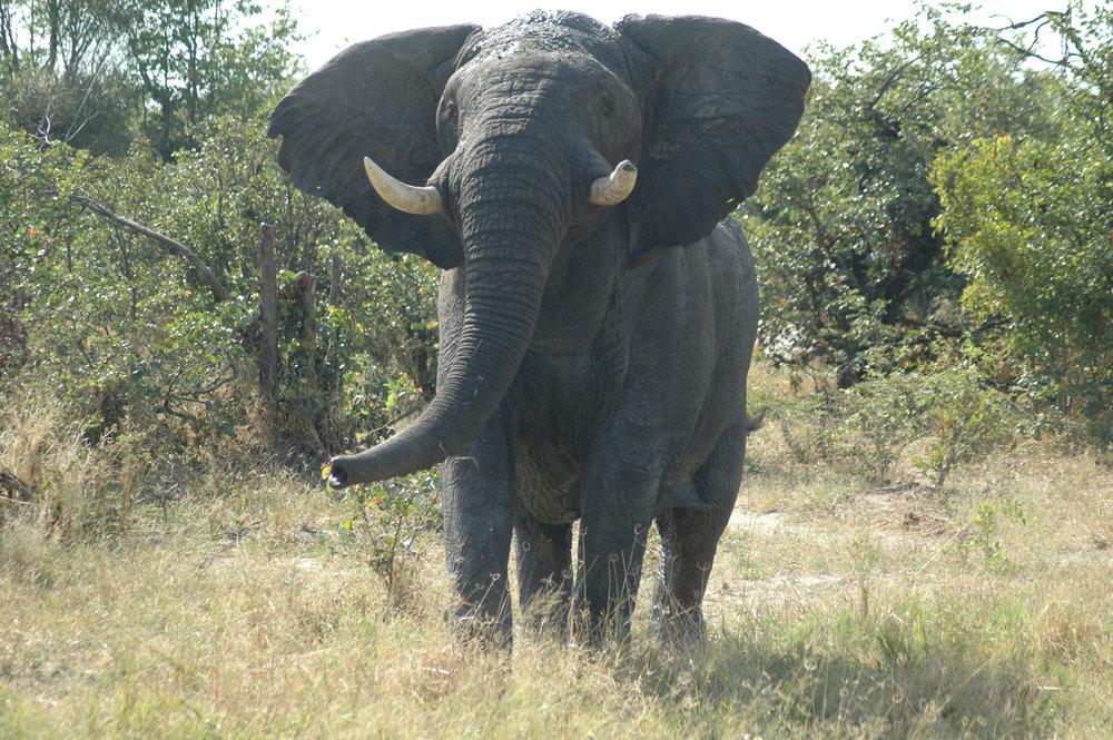 rightelephantbotswanabull.jpg