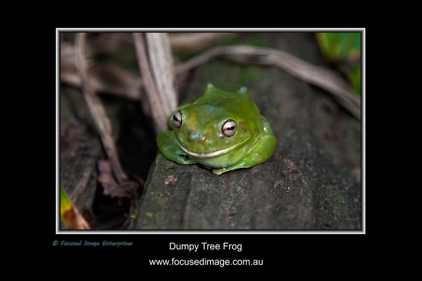 Dumpy Tree Frog.jpg