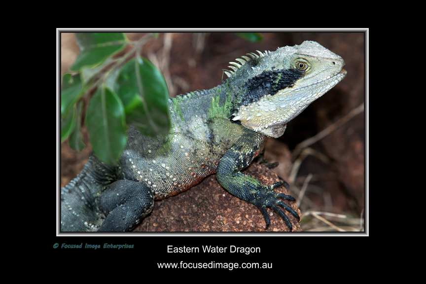 Eastern Water Dragon.jpg