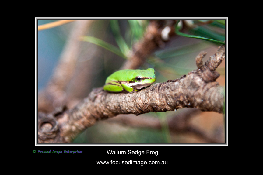 Wallum Sedge Frog.jpg