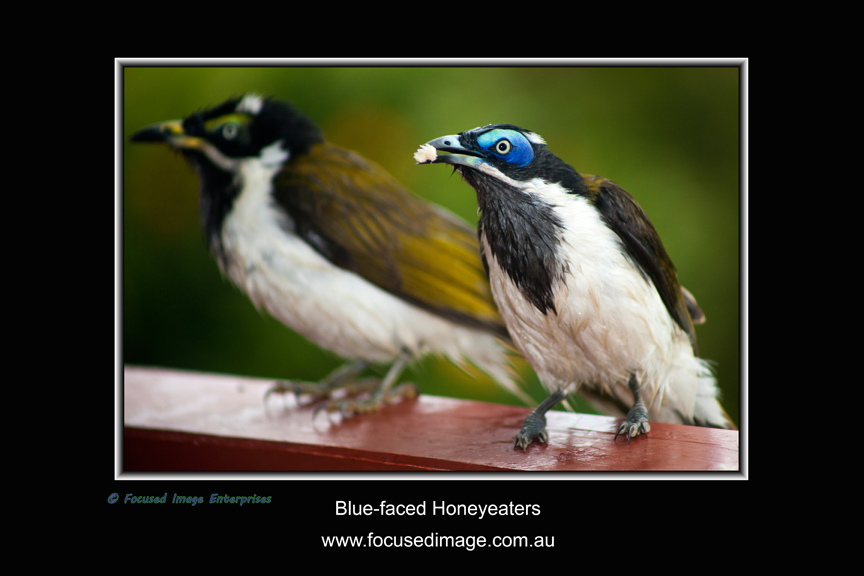 Blue-faced Honeyeaters.jpg