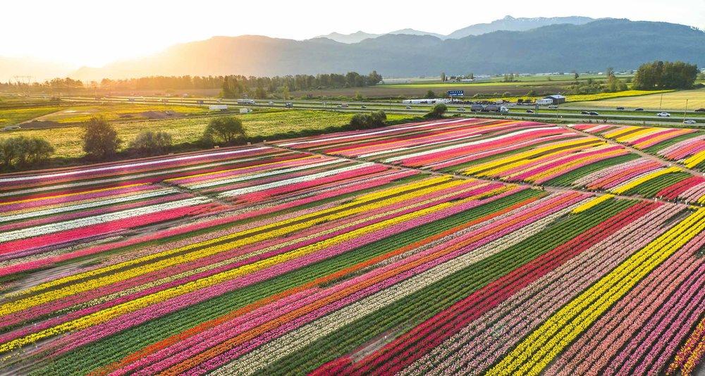 Abbordsford Tulip Festival in British Columbia, Canada (Google Images)