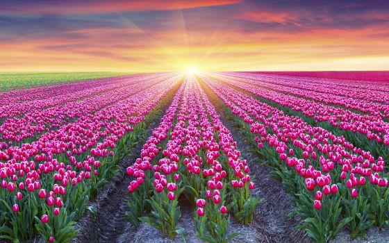 Noordoostpolder Tulip Festival (Google Images)