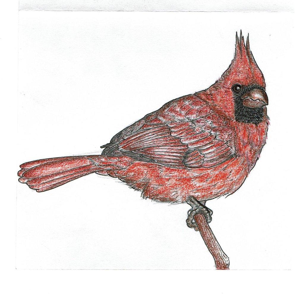 cardinal.jpeg