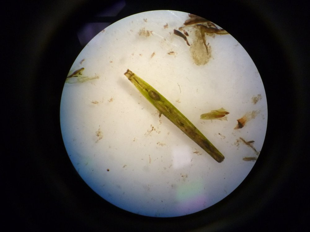 Seagrass flower under a microscope with a seed inside
