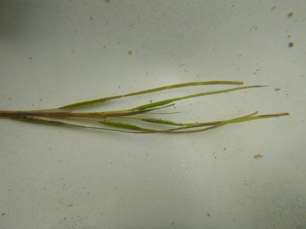 A flowering seagrass shoot