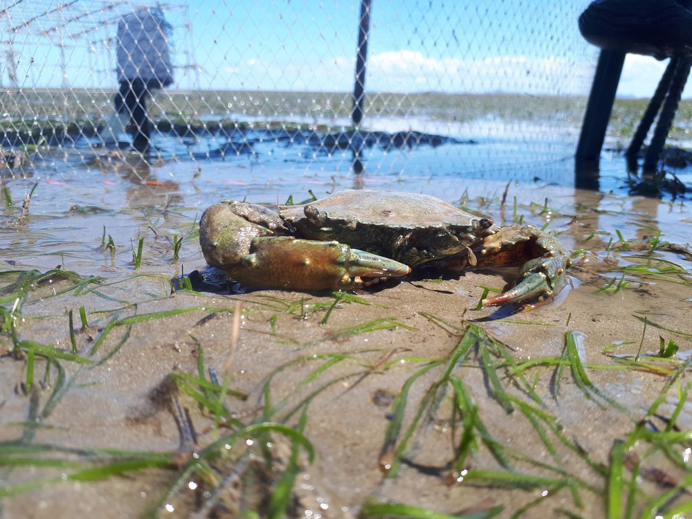 A blue swimming crab that had been digging inside a small cage at Gladstone