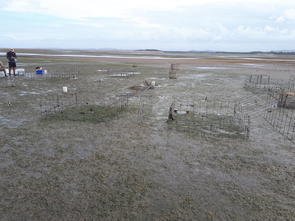 Long seagrass inside cages at Gladstone
