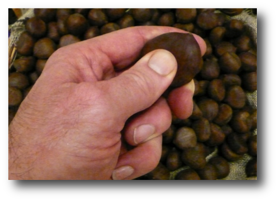 Selecting Fresh Chestnuts.png