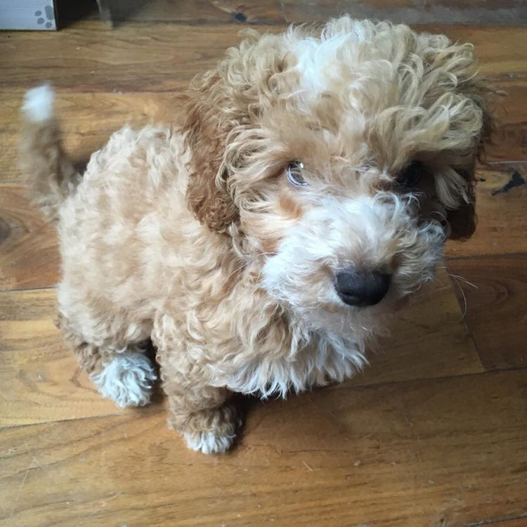 Mabel the Miniature Poodle