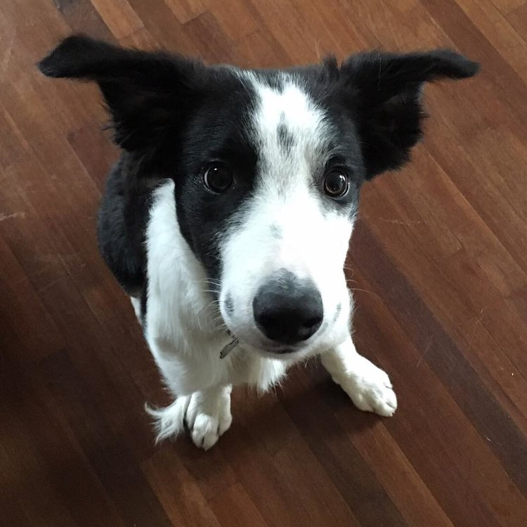 Loki the Border Collie puppy