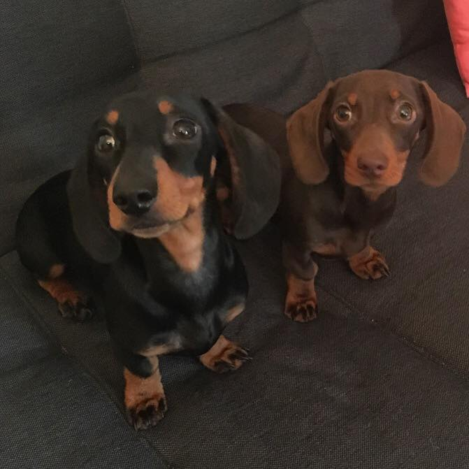 Hooper and Indie the miniature dachshunds