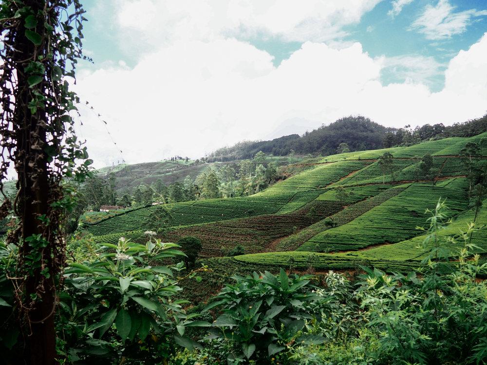ella-tea-plantation