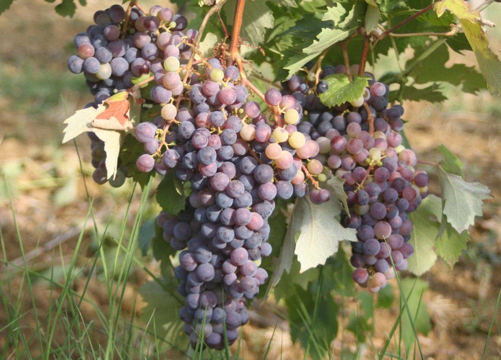 grapes_1483.JPG