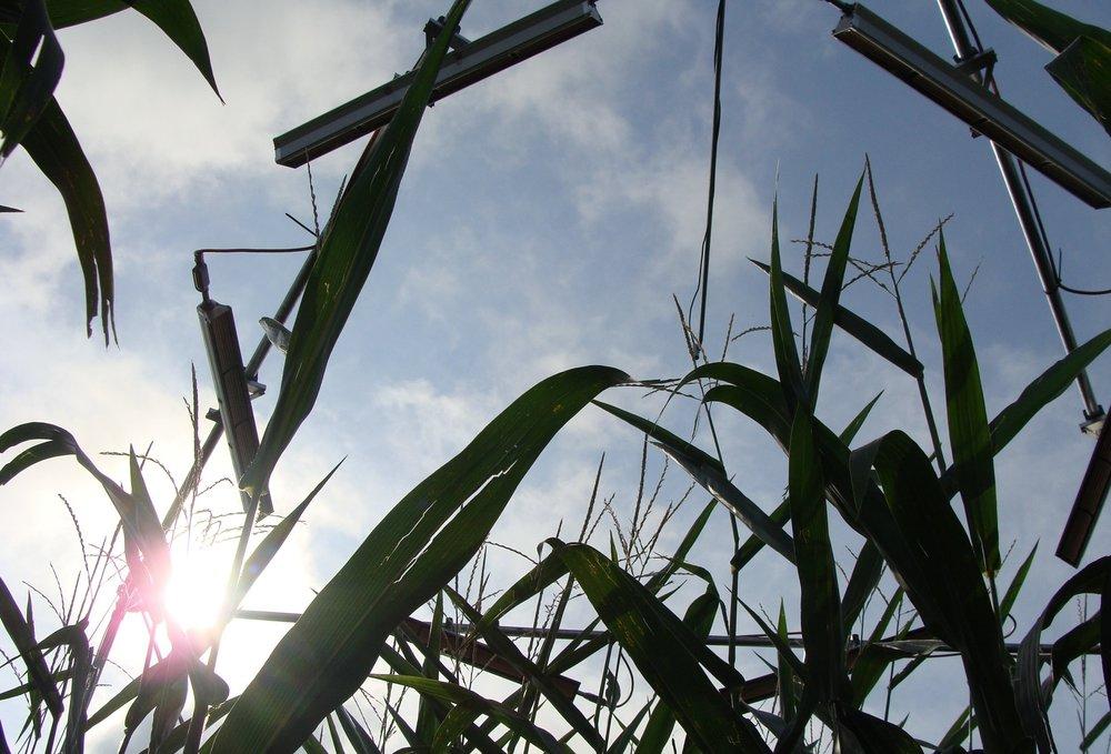 Warming experiment for maize. Credit: David Drag
