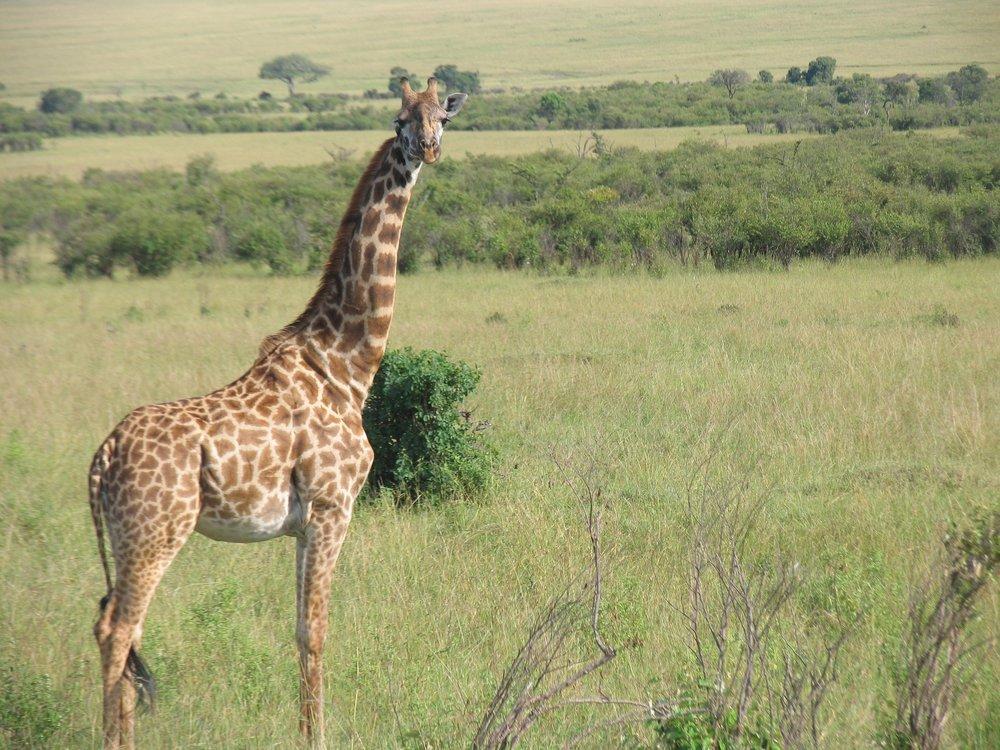A giraffe standing on a plain in Kenya.